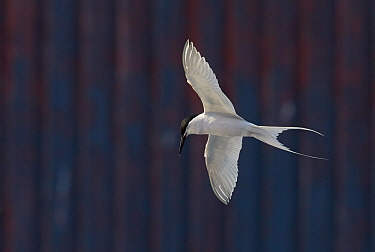 Roseate Tern (Sterna dougallii) in flight in front of building, Madeira Portugal August