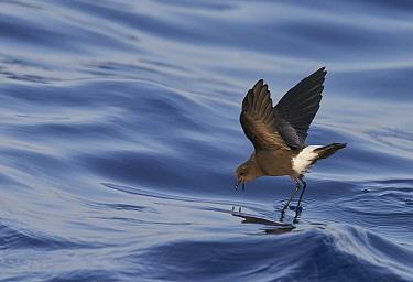 Wilson's Storm Petrel (Oceanites oceanicus) feeding whilst 'walking on water'  Atlantic ocean, Madeira Portugal, August