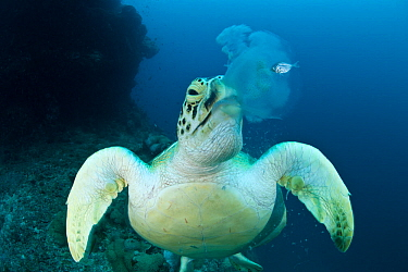 Green turtle (Chelonia mydas) feeding on jellyfish. Juvenile mackerel still hides beside the jellyfish about to lose its home.