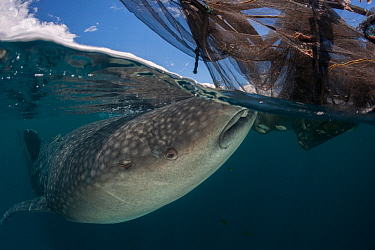 Whale shark (Rhincodon typus) feeding on fish near a fishing device called a Bagan, a stationary outrigger boat, with a net between outriggers and strong light at night to attract anchovies and scad....