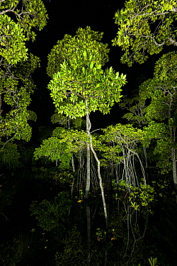 Mangrove forest canopy photographed at night, Raja Ampat, West Papua, Indonesia