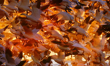 Snow Geese (Chen caerulescens) taking off at dawn Bosque del Apache, New Mexico, USA, winter