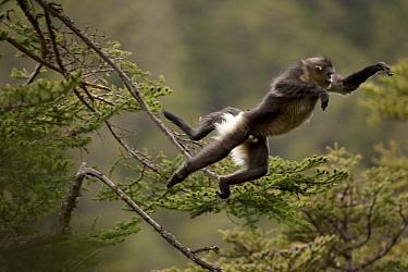 Yunnan snub-nosed monkey (Rhinopithecus bieti) leaping from tree to tree, Mangkang, Tibet, China, May