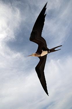 Great Frigatebird (Fregata minor) in flight over Midway Atoll. Midway.