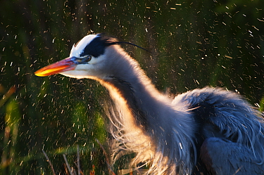 Great Blue Heron (Ardea herodias) shaking water off feathers, Florida Everglades