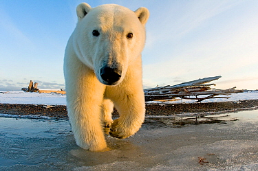 Polar bear (Ursus maritimus) curious subadult along a barrier island in autumn, Beaufort Sea, off the 1002 area of the Arctic National Wildlife Refuge, North Slope, Alaska