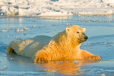 Polar bear (Ursus maritimus) juvenile spreading body weight over thin newly forming pack ice, trying not to break through, Beaufort Sea, off the 1002 area of the Arctic National Wildlife Refuge, North...