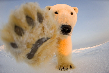 Polar bear (Ursus maritimus) curious young boar on the newly frozen pack ice reaches for remote camera with paw, Beaufort Sea, off the 1002 area of the Arctic National Wildlife Refuge, North Slope, Al...