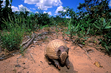 Three-banded Armadillo (Tolypeutes tricinctus) emerging from defensive ball, cerrado of Piaui State, Northeastern Brazil.