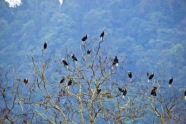 Wreathed hornbills (Rhyiceros undulatus) roosting in tree, Pakke, Arunachal pradesh, India