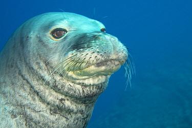 Male Hawaiian monk seal (Monachus schauinslandi)  at Lehua Ledges dive site, Lehua Rock, near Niihau, off Kauai, Hawaii