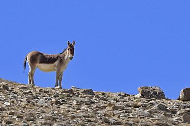 Tibetan Wild Ass / Kiang (Equus kiang) male, ChangThang, Tso Kar lake, at altitude of 4700m, Ladakh, India