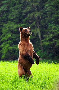 Female Grizzly bear (Ursus arctos horribilis) standing up in alert and looking around under the rain, Khutzeymateen Grizzly Bear Sanctuary, British Columbia, Canada, June.
