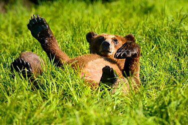 Grizzly bear cub (Ursus arctos horribilis) resting in the sedges, Khutzeymateen Grizzly Bear Sanctuary, British Columbia, Canada, June.
