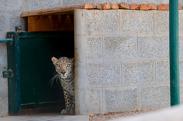Male Arabian Leopard (Panthera pardus nimr) looking out at its enclosure, at the Arabian Wildlife Centre & captive-breeding project, Sharjah, United Arab Emirates. March 2013