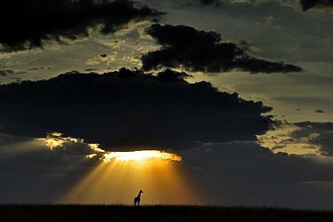 Maasai Giraffe (Giraffa camelopardalis tippelskirchi) under setting sun Maasai Mara, Kenya, Africa