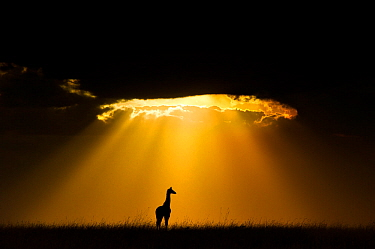 Maasai Giraffe (Giraffa camelopardalis tippelskirchi) silhouetted by beams of light from setting sun, Maasai Mara, Kenya, Africa. Winner of the African section of the Natures Best Windland Smith Rice...