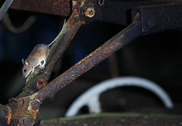 Wood mouse (Apodemus sylvaticus) inside an old car, Bastnas, Sweden, February. Winner of the Fritz Polking Prize at the GDT competition 2013 and winner of the Portfolio category in the Melvita Nature...