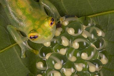 Reticulated Glass Frog (Hyalinobatrachium valerioi) male guarding egg clutch on leaf, Costa Rica.