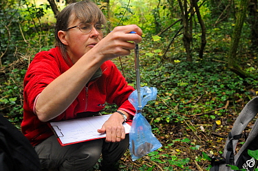 Mammalogist Gill Brown of Backwell Enviroment Trust using a spring balance to weigh a Common / Hazel dormouse (Muscardinus avellanarius) held in a plastic bag during a survey in coppiced woodland near...