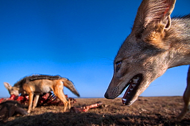 Black-backed jackals (Canis mesomelas) feeding on a wildebeest carcass - wide angle perspective Masai Mara National Reserve, Kenya. Taken with remote wide angle camera.