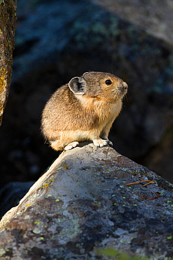 Pika (Ochotona princeps) in scree rock pile, Sheepeaters Cliff, Yellowstone National Park, Wyoming, USA, September.