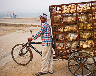 Man transporting chickens on a tricycle to market in a New Delhi suburb, India, November 2010.