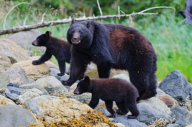 Vancouver Island black bear (Ursus americanus vancouveri) mother with cubs on a beach, Vancouver Island, British Columbia, Canada, July.