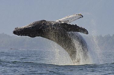 Humpback whale (Megaptera novaeangliae) adult breaching, Vancouver Island, British Columbia, Canada, July.