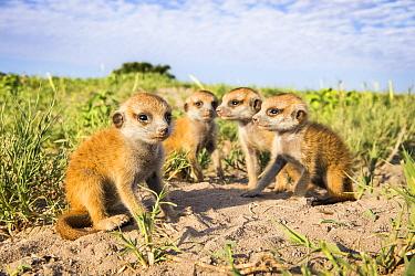 Meerkat (Suricata suricatta) babies, Makgadikgadi Pans, Botswana.