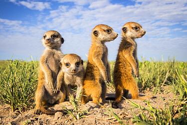 Meerkat (Suricata suricatta) group of babies, Makgadikgadi Pans, Botswana.