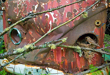 Redwing (Turdus iliacus) feeding young at nest in old Volkswagen car, Bastnas car graveyard, Sweden, May.