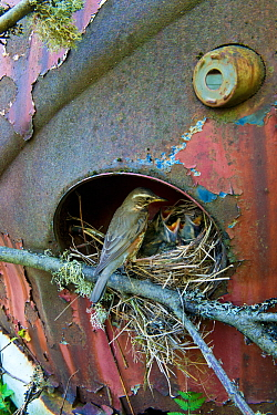 Redwing (Turdus iliacus) at nest in old car, Bastnas car graveyard, Sweden, May.