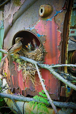 Redwing (Turdus iliacus) feeding young at nest in old car, Bastnas car graveyard, Sweden, May.