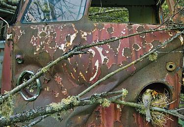 Redwing (Turdus iliacus) at nest in old Volkswagen car, Bastnas car graveyard, Sweden, May.