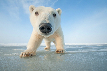 Polar bear (Ursus maritimus) curious young bear approaches over newly forming pack ice during autumn freeze up, Beaufort Sea, off Arctic coast, Alaska