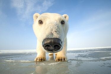 Polar bear (Ursus maritimus) curious young bear approaching camera, over newly forming pack ice during autumn freeze up, Beaufort Sea, off Arctic coast, Alaska
