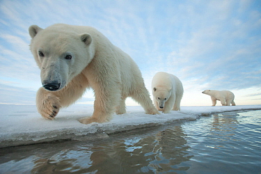 Polar bear (Ursus maritimus) sow with two juveniles walk along the ice edge during autumn freeze up, Beaufort Sea, off Arctic coast, Alaska
