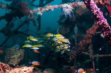 School of Kasmira snappers (Lutjanus kasmira) on artificial reef.  Mabul, Malaysia.