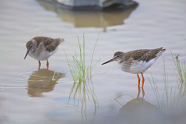 Common redshank (Tringa totanus) two at waters edge, Daocheng County, Qinghai-Tibet Plateau, China. August.