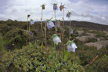Ladybells (Adenophora sp ) flowers in habitat, Daocheng County, , Qinghai-Tibet Plateau, China, August.