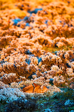 Ethiopian wolf (Canis simensis) sleeping at sunrise, Ethiopia.