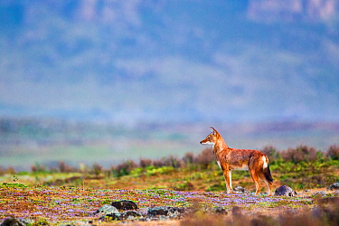 Ethiopian wolf (Canis simensis) scanning the surroundings while patrolling the pack's territory, Ethiopia, November.