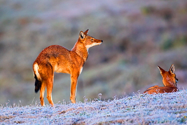 Ethiopian wolf (Canis simensis) stretching as it wakes up, Web Valley, Ethiopia.