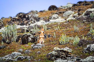 Ethiopian wolf (Canis simensis) sub-adult wolf sitting near den, Ethiopia.