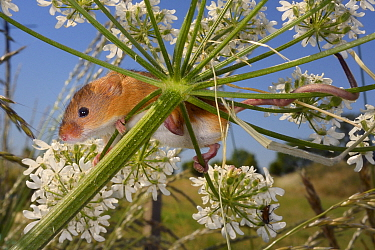 Harvest mouse (Micromys minutus) clinging to a Common hogweed (Heracleum sphondylium) flowerhead with its feet and tail after release, Moulton, Northampton, UK, June.