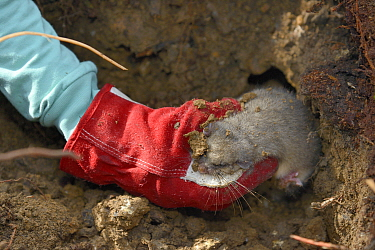 Radio-collared Edible / Fat Dormouse (Glis glis) being taken from its winter hibernation burrow during a survey in woodland where this European species has become naturalised, Buckinghamshire, UK, Apr...