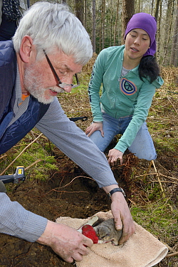 Roger Trout and Jia Min Lim with an Edible / Fat Dormouse (Glis glis) excavated from its winter hibernation burrow in woodland where this European species has become naturalised, Buckinghamshire, UK,...