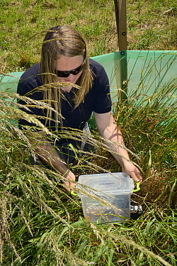 Emily Howard-Williams placing a grain feeding station equipped with an automatic Radio Frequency Identification (RFID) monitor to survey Harvest mice (Micromys minutus) in a field enclosure after rele...
