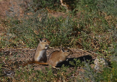 Mongolian gerbils (Meriones unguiculatus) in its natural habitat,  the Northern Gobi Desert, Mongolia, August. This species is commonly kept as a pet.